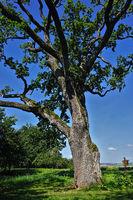 oak near Herrenberg, 350 years old, germany