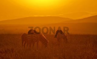 Zebra at Sunrise, Africa