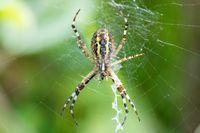 Argiope bruennichi (wasp spider) on web