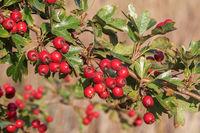 Früchte und Blätter des Eingriffeligen Weißdorns