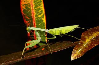 praying mantis on leaf, Sulawesi, Indonesia
