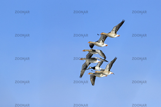 Greylag Geese and Barnacle Goose on the North Sea coast