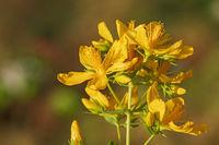Blüten und Knopsen des Echten Johanniskrauts
