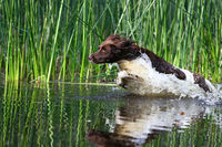 small Munsterlander jumping in sthe water