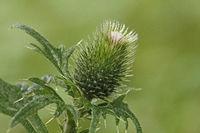 Gewoehnliche Kratzdistel (Cirsium vulgare)