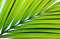 Palm leaves full frame