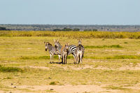 Zebra in the tall grass of the savannah of Amboseli Park in Kenya