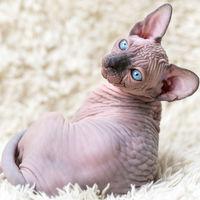 Portrait of Canadian Sphynx Cat kitten lying on white carpet with long pile