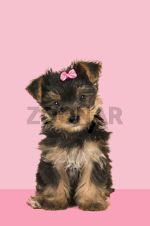 Cute sitting yorkshire terrier, yorkie puppy wearing a pink bow looking at the camera on a pink background
