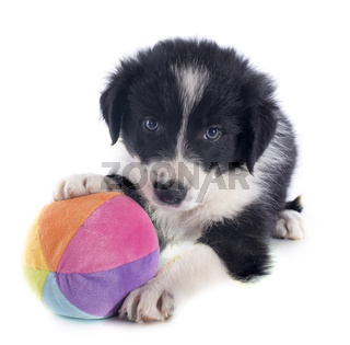 puppy border collie and ball