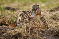 Mallard in the Grass