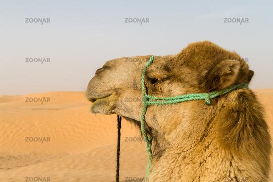 Dromedary observes Sahara desert sand dunes