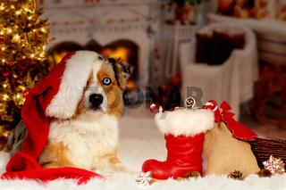 Christmas, dog Australian Shepherd lies idyllically in front of fireplace fire
