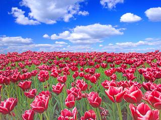 Red tulips on flower bed against blue sky. Spring garden