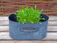 Decorative pot with fresh rocket (arugula) on a wooden table