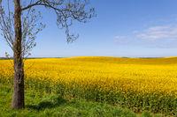 Yellow field of flowering rape