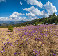 Blooming purple violet Crocus heuffelianus (Crocus vernus) alpine flowers on spring Carpathian mountain plateau, Ukraine.