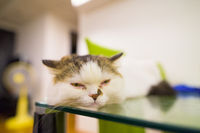 Sleepy Persian cat relaxing on table wide angle close-up shot