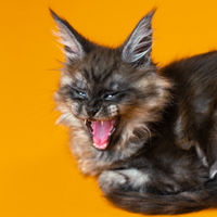 Coon Cat of color black smoke on yellow background. Angry female kitten opened mouth, raised ears