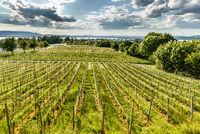 Vineyards on Reichenau Island, Lake Constance, Baden-Wuerttemberg, Germany