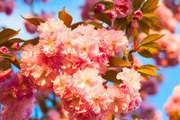 Close-up sakura blossom flowers background