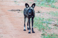African wild dog (Lycaon pictus), also called painted dog