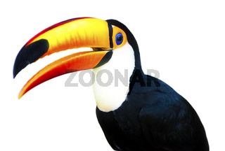 Beautiful Toucan