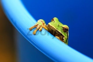 Green tree frog peeking out of a bucket