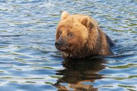 Hungry Kamchatka brown bear stands in river, looking around in search of food - red salmon fish