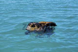 Mating sea turtles