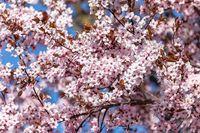 vivid pink cherry sakura blossom flowers