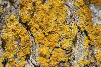 Gewöhnliche Gelbflechte an einem Baum
