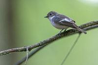 European Pied Flycatcher on the branch of an oak tree / Ficedula hypoleuca