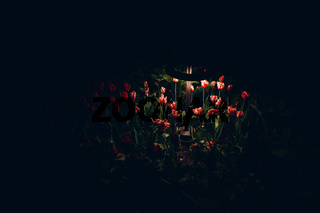 a flower bed with pink rose flowers in the dark is illuminated by a garden lamp