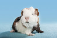 guinea pig frontal sitting