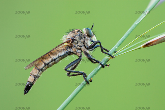 robber fly [family Asilidae]