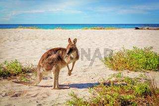 Kangaroo on sandy beach in Australia