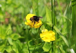 Wiese mit gelber Blume und Wildbiene