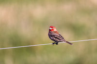 A red-headed bird sings on a wire.