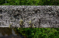 Lichen on the wooden railing of a bridge over the Breg in the southern Black Forest, Germany