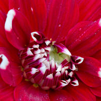 Macro photo of a red dahlia flower background.