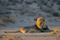 Big male African lion (Panthera leo) resting in early morning light