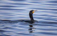 Cormorant in Lake