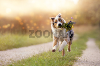 Dog, Australian Shepherd jumps with bouquet