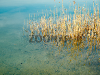 reed grass in the lake water