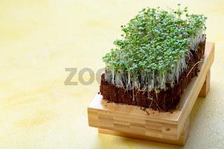 Microgreen sprouts arugula.