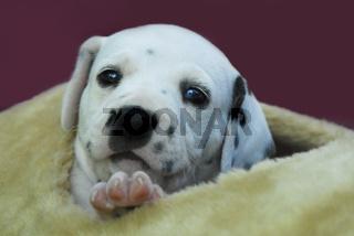 Dalmatiner Welpe, vier Wochen alt