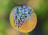 blossom capsule of an ornamental onion