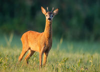 Roe deer buck sniffing with nose high at sunrise with green blurred background.