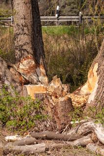 Biberverbiss am Baum